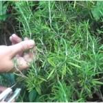 Como criar uma planta de alecrim a partir de um simples ramo