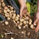 Como plantar batatas em baldes. Ideal para quem não tem quintal