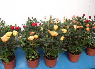 rosas em vasos